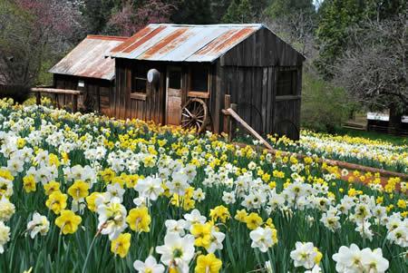 daffodil hill jackson